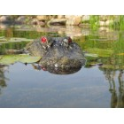 "22"" Alligator Head Decoy & Pond Float with Reflective Eyes For Canada Geese & Blue Heron Control"